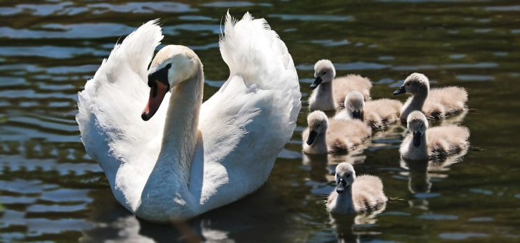 swan-2494925_1280